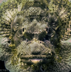 Scorpionfish trying to smile