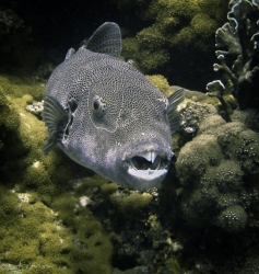 Puffer fish showing his coral crunching choppers
