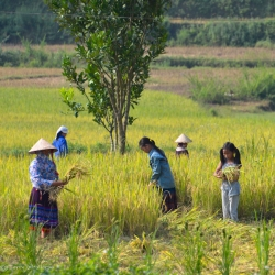 Family harvesting rice - Sapa, Vietnam