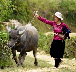 A woman and her buffalo, Vietnam