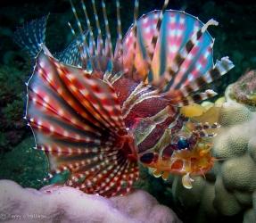 Colorful Turkeyfish