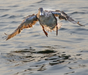 Female Mallard making a water landing