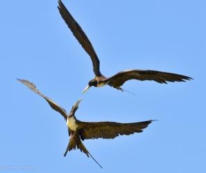 Frigate birds dueling midair