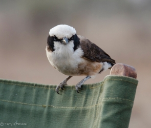 White-Crowned Shrike, Tanzania