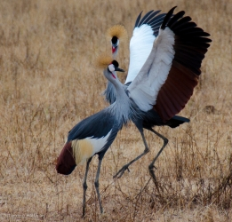 Mating Cranes Africa