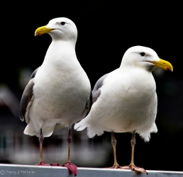 Gulls in Gig Harbor, WA
