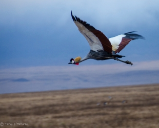 Flying Grey Crowned Crane