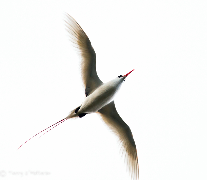 red-tailed-tropic-bird