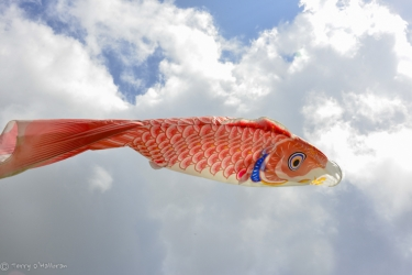 Red fish in the morning