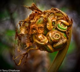 Fiddlehead, Hapu'u Tree Fern