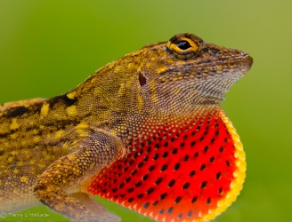 anole 8