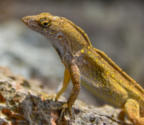 anole 10