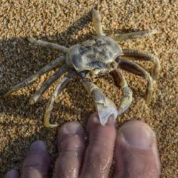 Tenacious crab