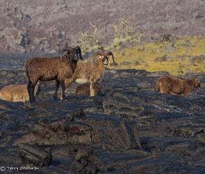 Big Horn Sheep, Hawaii Island