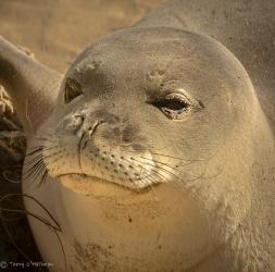Monk Seal pup, Oahu