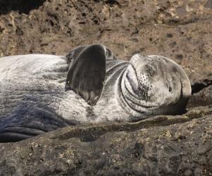 Juvenile Hawaiian Monk Seal catching rays, Oahu