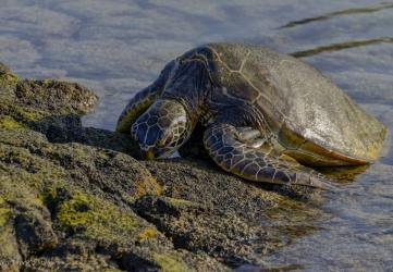 Pausing green sea turtle