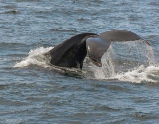 Humpback Whale, Cape Cod, Massachusetts