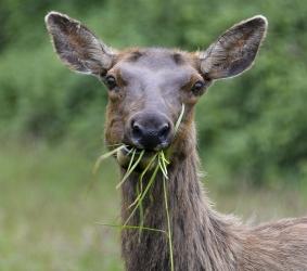 Elk in Northern California