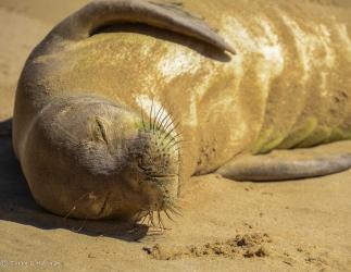 Monk Seal. Kaua'i