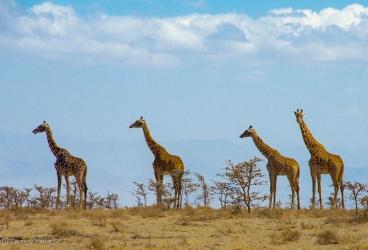 Four Giraffes, Serengeti