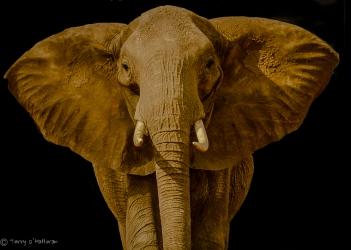 Elephant Portrait, Africa